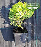 Thuja occidentalis 'Mirjam', Туя західна 'Мір'ям',WRB - ком/сітка,30-40 см, фото 4