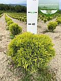 Thuja occidentalis 'Mirjam', Туя західна 'Мір'ям',WRB - ком/сітка,30-40 см, фото 7