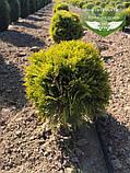 Thuja occidentalis 'Mirjam', Туя західна 'Мір'ям',WRB - ком/сітка,30-40 см, фото 9