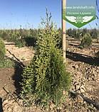 Thuja occidentalis 'Smaragd Witbont', Туя західна 'Смарагд Вітбонт',WRB - ком/сітка,50-60см, фото 2