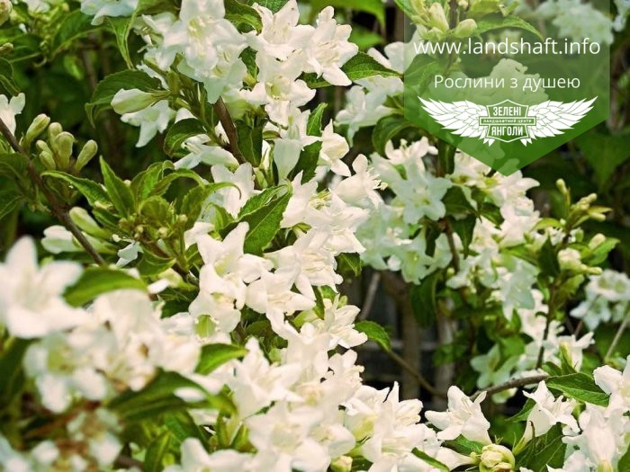 Weigela florida 'Candida', Вейгела квітуча 'Кандіда',C5 - горщик 5л