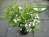 Weigela florida 'Candida', Вейгела квітуча 'Кандіда',C5 - горщик 5л, фото 2