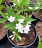 Weigela florida 'Candida', Вейгела квітуча 'Кандіда',C5 - горщик 5л, фото 6