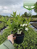 Weigela florida 'Candida', Вейгела квітуча 'Кандіда',C5 - горщик 5л, фото 10