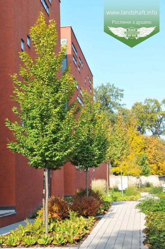 Carpinus betulus 'Frans Fontaine', Граб звичайний 'Франс Фонтейн',220-240см,TG8-10,C45 - горщик 45л