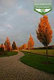 Carpinus betulus 'Frans Fontaine', Граб звичайний 'Франс Фонтейн',220-240см,TG8-10,C45 - горщик 45л, фото 2