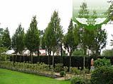 Carpinus betulus 'Frans Fontaine', Граб звичайний 'Франс Фонтейн',220-240см,TG8-10,C45 - горщик 45л, фото 3
