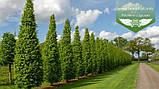 Carpinus betulus 'Frans Fontaine', Граб звичайний 'Франс Фонтейн',220-240см,TG8-10,C45 - горщик 45л, фото 4
