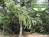 Larix x eurolepis, Модрина широколуската,WRB - ком/сітка,160-180см, фото 2