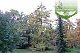 Larix x eurolepis, Модрина широколуската,WRB - ком/сітка,180-200см, фото 3