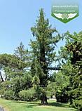 Larix x eurolepis, Модрина широколуската,WRB - ком/сітка,180-200см, фото 4