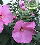 Hibiscus hybrida, Гібіскус травянистий,C2 - горщик 2л, фото 3