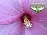 Hibiscus hybrida, Гібіскус травянистий,C2 - горщик 2л, фото 5