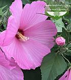 Hibiscus hybrida, Гібіскус травянистий,C2 - горщик 2л, фото 6