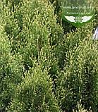 Thuja occidentalis 'Smaragd Witbont', Туя західна 'Смарагд Вітбонт',WRB - ком/сітка,70-80см, фото 3