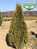 Thuja occidentalis 'Smaragd Witbont', Туя західна 'Смарагд Вітбонт',WRB - ком/сітка,100-120см, фото 5