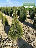 Thuja occidentalis 'Smaragd Witbont', Туя західна 'Смарагд Вітбонт',WRB - ком/сітка,100-120см, фото 6