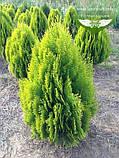 Thuja orientalis 'Aurea Nana', Туя східна 'Ауреа Нана',WRB - ком/сітка,50-60см, фото 3
