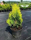 Thuja orientalis 'Aurea Nana', Туя східна 'Ауреа Нана',WRB - ком/сітка,60-70см, фото 4