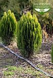 Thuja orientalis 'Aurea Nana', Туя східна 'Ауреа Нана',WRB - ком/сітка,60-70см, фото 6