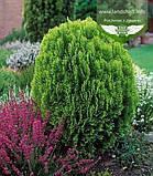Thuja orientalis 'Aurea Nana', Туя східна 'Ауреа Нана',WRB - ком/сітка,60-70см, фото 8