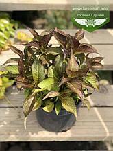 Hydrangea macrophylla, Гортензія крупнолиста червонолиста,C2 - горщик 2л
