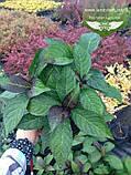 Hydrangea macrophylla, Гортензія крупнолиста червонолиста,C2 - горщик 2л, фото 2