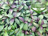 Hydrangea macrophylla, Гортензія крупнолиста червонолиста,C2 - горщик 2л, фото 3