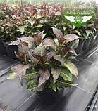 Hydrangea macrophylla, Гортензія крупнолиста червонолиста,C2 - горщик 2л, фото 4