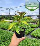 Hydrangea macrophylla, Гортензія крупнолиста червонолиста,C2 - горщик 2л, фото 5