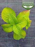 Hydrangea macrophylla, Гортензія крупнолиста червонолиста,C2 - горщик 2л, фото 6