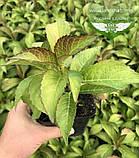 Hydrangea macrophylla, Гортензія крупнолиста червонолиста,C2 - горщик 2л, фото 7