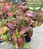 Hydrangea macrophylla, Гортензія крупнолиста червонолиста,C2 - горщик 2л, фото 8
