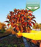 Hydrangea macrophylla, Гортензія крупнолиста червонолиста,C2 - горщик 2л, фото 10
