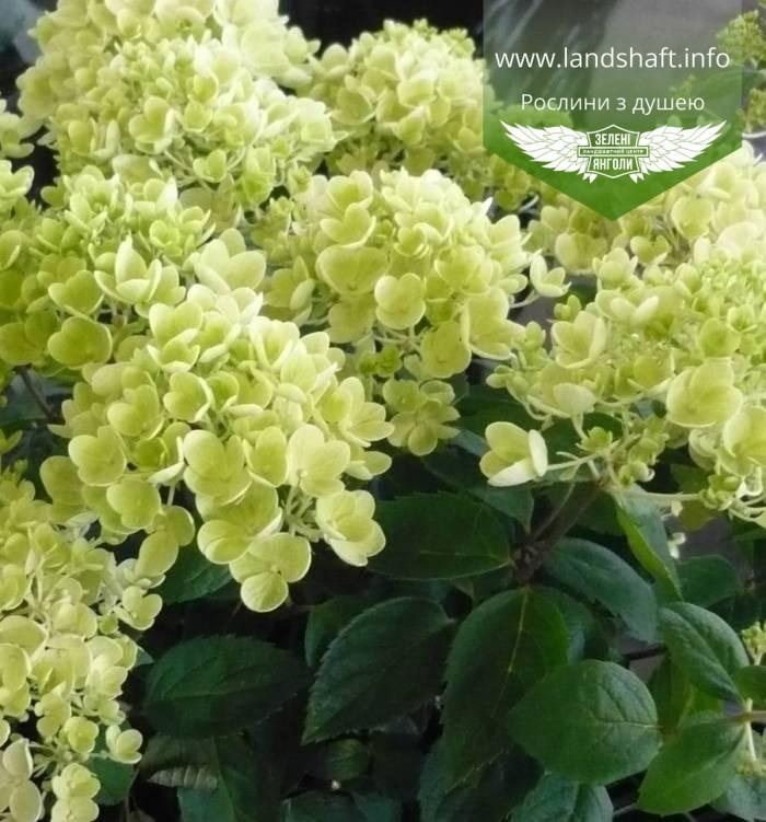 Hydrangea paniculata 'Bombshell', Гортензія волотиста 'Бомбшел',C25 - горщик 20-25л
