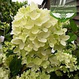 Hydrangea paniculata 'Bombshell', Гортензія волотиста 'Бомбшел',C25 - горщик 20-25л, фото 2