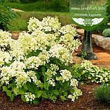 Hydrangea paniculata 'Bombshell', Гортензія волотиста 'Бомбшел',C25 - горщик 20-25л, фото 3