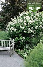 Hydrangea paniculata 'Kyushu', Гортензія волотиста 'Кіушу',C2 - горщик 2л