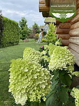 Hydrangea paniculata 'Limelight', Гортензія волотиста 'Лаймлайт',C2 - горщик 2л