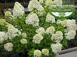 Hydrangea paniculata 'Limelight', Гортензія волотиста 'Лаймлайт',C2 - горщик 2л, фото 2