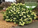 Hydrangea paniculata 'Limelight', Гортензія волотиста 'Лаймлайт',C2 - горщик 2л, фото 3
