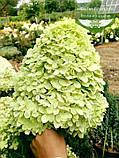 Hydrangea paniculata 'Limelight', Гортензія волотиста 'Лаймлайт',C2 - горщик 2л, фото 4