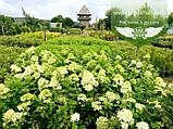 Hydrangea paniculata 'Limelight', Гортензія волотиста 'Лаймлайт',C2 - горщик 2л, фото 5