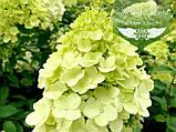 Hydrangea paniculata 'Limelight', Гортензія волотиста 'Лаймлайт',C2 - горщик 2л, фото 6