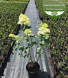 Hydrangea paniculata 'Limelight', Гортензія волотиста 'Лаймлайт',C2 - горщик 2л, фото 9
