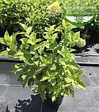 Hydrangea paniculata 'Limelight', Гортензія волотиста 'Лаймлайт',C2 - горщик 2л, фото 10