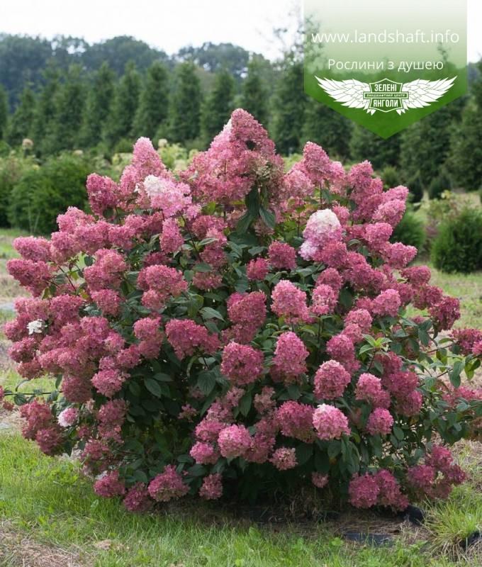 Hydrangea paniculata 'Magical Fire', Гортензія волотиста 'Меджікал Файр',C25 - горщик 20-25л