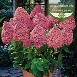 Hydrangea paniculata 'Magical Fire', Гортензія волотиста 'Меджікал Файр',C25 - горщик 20-25л, фото 2