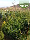 Thuja plicata 'Gelderland', Туя складчата 'Гелдерланд',WRB - ком/сітка,80-100см, фото 2