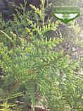 Thuja plicata 'Gelderland', Туя складчата 'Гелдерланд',WRB - ком/сітка,80-100см, фото 3